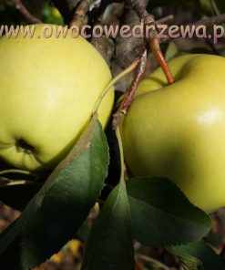 Jabłoń 'Golden Delicious'