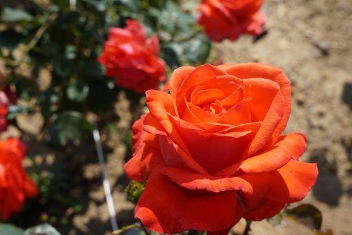 Róża wielkokwiatowa pomarańczowo żółta